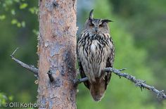 Huuhkaja - Google-haku Birds Of Prey, Owls, Sweden, Google, Owl, Tawny Owl