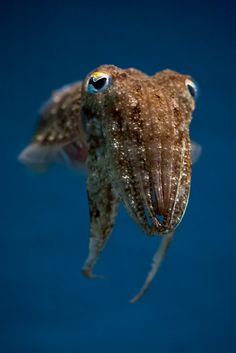 Common Cuttlefish (Sepia officinalis) by macropoulos