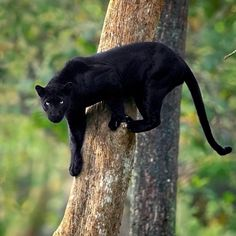 What a powerful sight it is to see the Panther descend a tall vertical tree as he wipes the trunk bare of its bark with his powerful claws Photo by: . Black Panther Cat, Panther Leopard, Wild Panther, Wild Life, Animals And Pets, Baby Animals, Cute Animals, Wild Animals, Big Cats