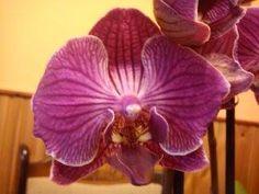Lepkeorchidea:ilyenem lesz egy hét múlva 3.