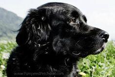 www.PamperedPetsTravel.com  #dog #dogs #puppy #puppies #pet #pets #travel #trip #traveling #PetTravel #cute #black