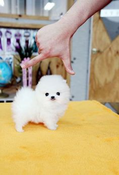 This puppy is so tiny ;( Only it's not. It's an optical illusion used by scammers.