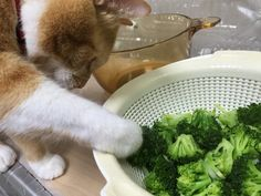2015.11.09#猫 #cat  茹でたブロッコリーを置きっぱなしにしてたから、貰おうとしたけど熱い…>_<…