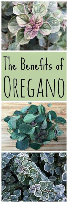 Oregano is a wonderful herb to have in your garden. It has many benefits, including medicinal!