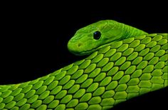 162 Best Black And Green Mambas Images On Pinterest In 2018