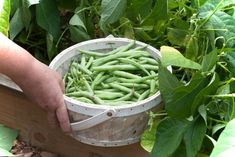 Want All the Green Beans You Can Eat? Get the Best Harvest With These Growing Tips | Ready Gardens By Ready Nutrition