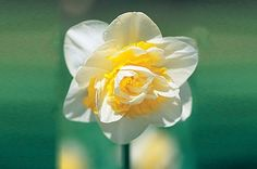 How to force daffodil bulbs - Projects: Greenhouse and house plants - gardenersworld.com