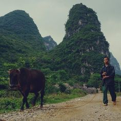 A #farmer takes his #cow for a #walk in a #local #village in #Yangshuo, #China. This area in the far #south of China is said to have a landscape similar to that of #Vietnam. #Karst #hills galore. #geology #guilin #guangxi #Asia #陽朔 #大陸 #中國 #阳朔 #中国 #桂林 #廣西 #桂林 #广西  Photo by Instagram user: elisecma