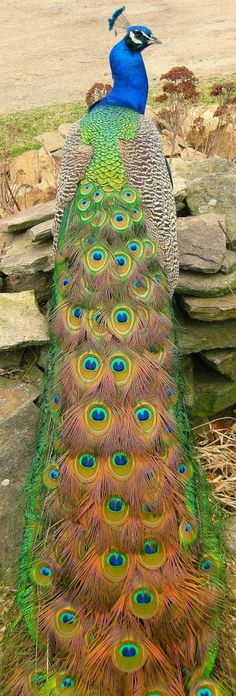 New Wonderful Photos: Peacock, Beautiful Bird. I used to have peacock such as this, he was so smart, my husband called him The Sherif, because when ask he would herd all the chicken and a pair of cows to the barn. Pretty Birds, Love Birds, Beautiful Birds, Animals Beautiful, Beautiful Pictures, Stunningly Beautiful, Beautiful Patterns, Absolutely Gorgeous, Exotic Birds