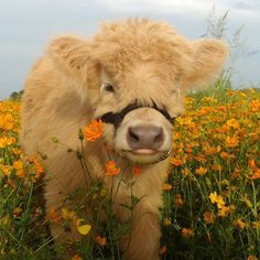 Tagged with fluffy animals, funny animals, stay save, be ware; Shared by fluffy animals for you Cute Baby Cow, Baby Cows, Cute Cows, Cute Babies, Baby Farm Animals, Baby Elephants, Fluffy Cows, Fluffy Animals, Smiling Animals