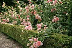 boxwood and rose hedge
