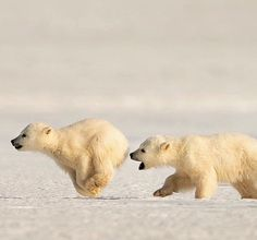 2 Polar Bear cubs, only 5 months old, chasing each other on the ice in Svalbard. Animals And Pets, Baby Animals, Funny Animals, Cute Animals, Beautiful Creatures, Animals Beautiful, Wooly Bully, Baby Polar Bears, Bear Art