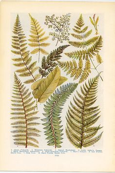 Vintage Botanical Prints - Northern Ferns - 1926  Lithographs