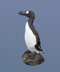 Great Auk (Pinguinnus impennis) Specimen - Extinct Circa 1850. Bristol City Museum, Bristol, England.