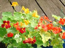 From capers to pesto to flavored vinegars: Great ways to cook with nasturtiums