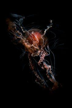 Medusa by Guido Mocafico