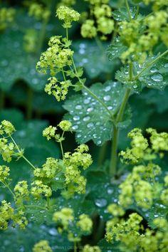 Alchemilla mollis (Lady's mantle - lodden løvefod). Blomstrer i juni-juli. Trives i al slags jord og tåler bedst sol og halvskygge. Bladdelen bliver ca. 20-30 cm høj, og når blomsterne kommer, bliver den samlede plante 40-50 cm i højden.
