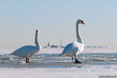 Helsinki: A mute swan couple walking on the frozen sea near the district of Kaivopuisto. The lighthouse island of Harmaja can be seen in the background.