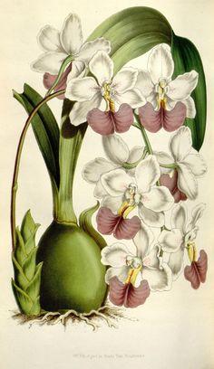 Odontoglossum citrosmum