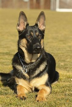 German Shepherd Dog  Origin: Germany  Colors: Any except white, liver and blue  Size: Large  Type of Owner: Experienced  Exercise: Daily  Grooming: Little   Trainability: Easy to train  Combativeness: Not dog-aggressive  Dominance: Moderate  Noise: Average barker