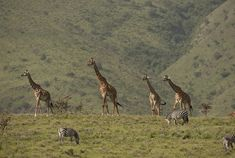 Passage To Africa - Ngorongoro Highlands - Tanzania Travel Companies, African Safari, Pta, Highlands, Tanzania, Giraffe, Camel, Photo Galleries, Wildlife