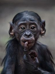 Little Bonobo Chimp Primates, Mammals, Beautiful Creatures, Animals Beautiful, Cute Baby Animals, Funny Animals, Animals Kissing, Monkey See Monkey Do, Monkey Mind