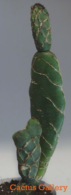 Opuntia reticulata cobra Cactus Gallery