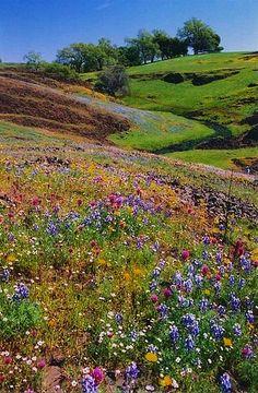 Table Mountain, wildflower field, California by Judy&Paul/Flickr