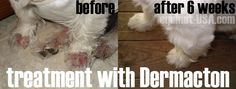 Westie dog with chewed sore feet and hair loss caused seasonal allergies. Cleared up with Petnat Demacton