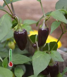 Pimentas Art | 20 Sementes de Pimenta Hungarian Black *Frete Grátis* Yellow Dragon, Pepper Seeds, Stuffed Hot Peppers, Chilis, Fruits And Vegetables, Superfood, Flora, Gardening, Chile Relleno