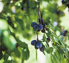 Luumupuu Garden Ideas, Dreams, Green, Landscaping Ideas, Backyard Ideas