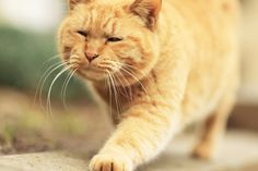 ginger kitty ~ taking his morning stroll seriously