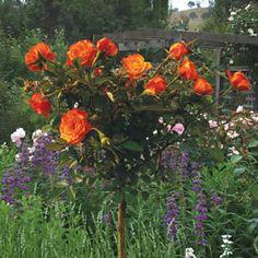 STANDARD ROSE - REMEMBER ME - Garden Express