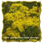 Stiff Goldenrod (Solidago rigida) Jumbo Wildflower Seed Packet (1750) by Everwilde Farms Inc.. $2.75. Goldenrods have long been falsely accused of causing hay fever, instead of being enjoyed in wildflower gardens!  This variety is loved by bees and butterflies and is easy to care for.  If the spent clusters are removed it encourages more vivid yellow blooms!