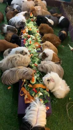 Lunch I hope we get an invite to the next Guinea pig party Cute Little Animals, Cute Funny Animals, Cute Dogs, Cute Babies, Animal Eating Plants, Pet Guinea Pigs, Guinea Pig Cages, Guinea Pig House, Cute Animal Videos