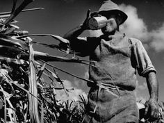Vintage photo of a farm hand taking a drink while working in a sugar cane field.