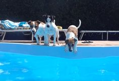 Jack Russells pups playing in the pool