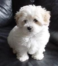 coton de tulear photos - Google Search