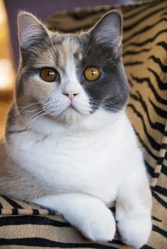 British shorthair cat...an incredibly beautiful feline. All my favorite colors and features in one lovely cat!