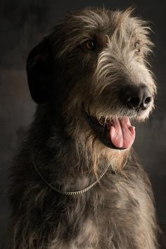 Photo by Paul Croes.  Irish Wolfhound or Scottish Deerhound??