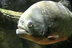 Piranha: No Feeding Frenzy Today, Just Peaceful Fish