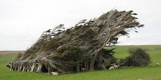 Extreme Antarctic Winds Shape Trees Into Beautiful Forms (Slope Point, New Zealand)