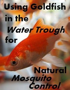 Using Goldfish in Water Troughs for Natural Mosquito Control | Savvy Horsewoman