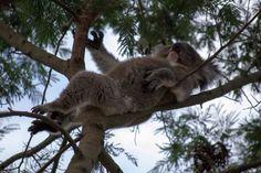 Koala relaxing on tree top