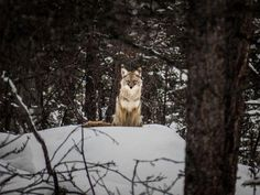 A beautiful Coyote watching me as I take a stroll in the woods.