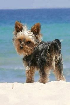 "Are you ready for the beach ? Wow... my Toto's twin.... ""where are the rocks?"" (is what he is saying)"