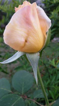Budding rose in my garden.