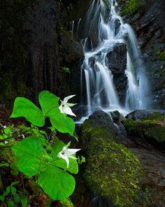 White Trillium at Waterfall: Smoky Mountains, TN | Flickr - Photo Sharing!