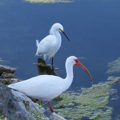 Egret & an Ibis---Ajax, Ontario