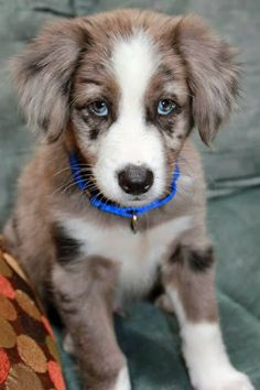 Everest the Australian Shepherd / Border Collie. Now THOSE are baby blues